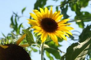 イメージ_04_ダウベール・ハッコー・トカゲ_sunflower_01
